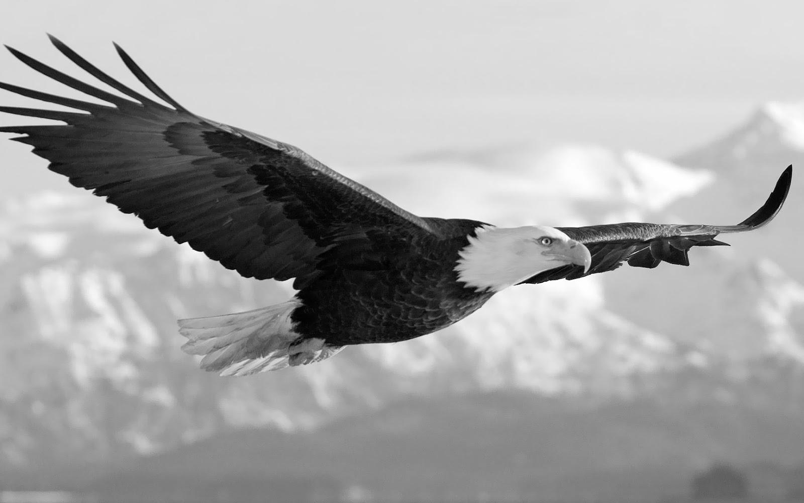 black-and-white-eagle-wallpaper jpgWhite Eagle Wallpaper